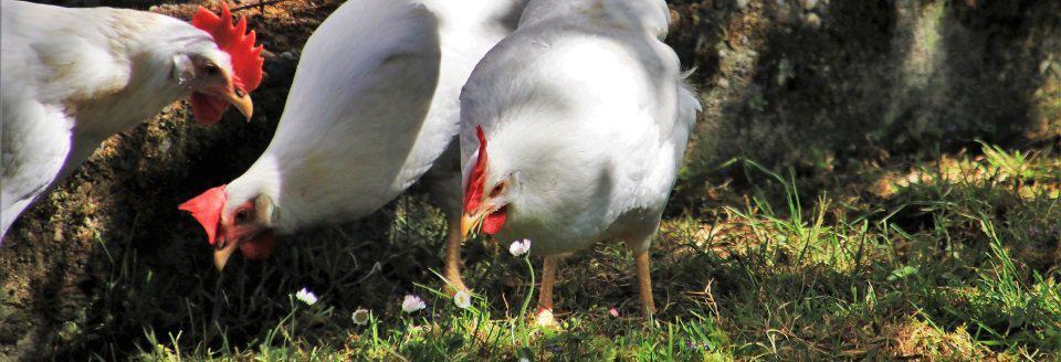 kippenhok bouwen en de eisen